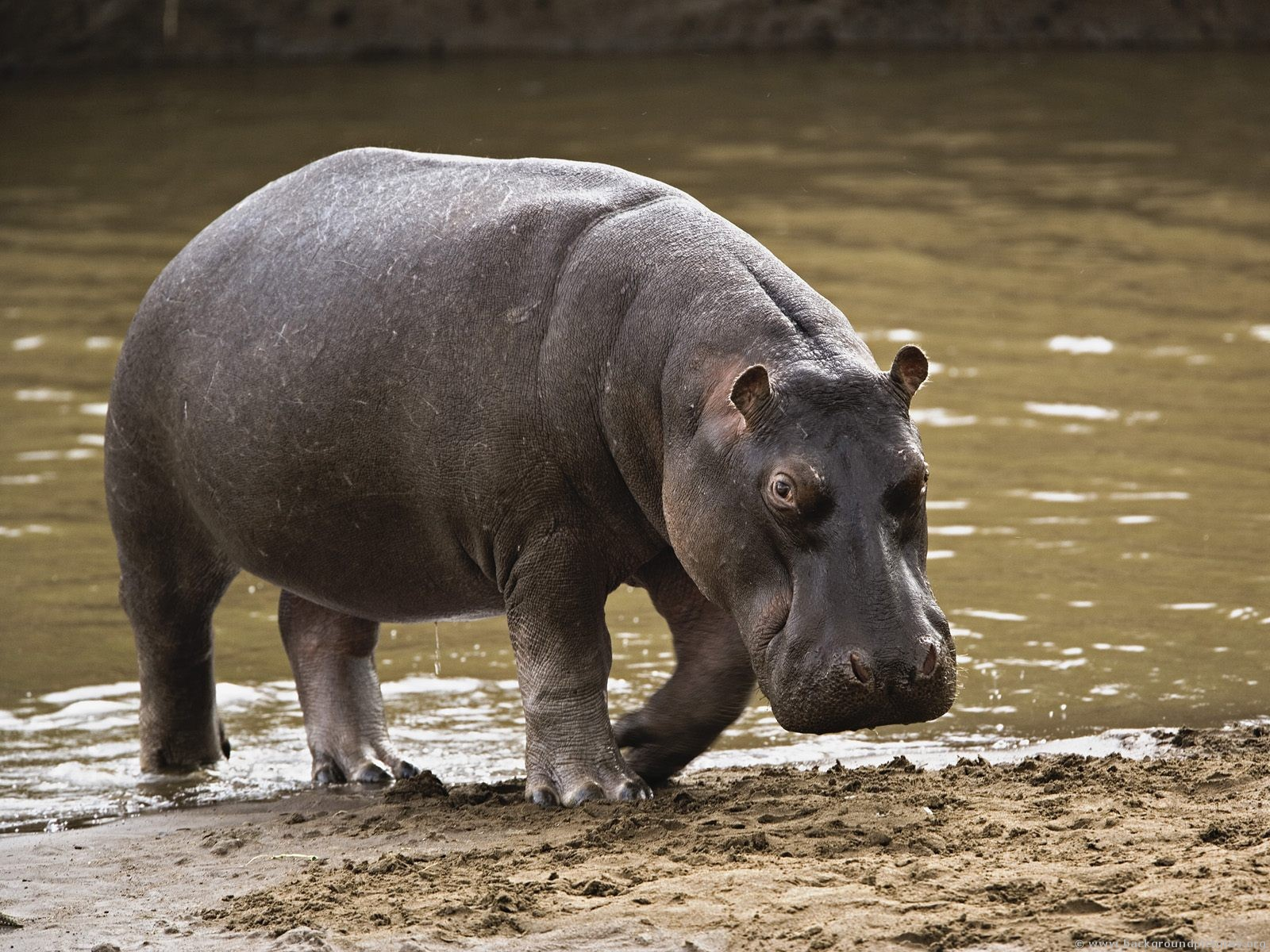 http://1.bp.blogspot.com/-vxWY-vhV6e8/TqQ3JQP2P-I/AAAAAAAABuI/TGY8kyTeEiY/s1600/Hippopotamus.jpg