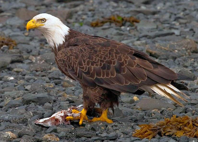 Eagle bird images - photo#15
