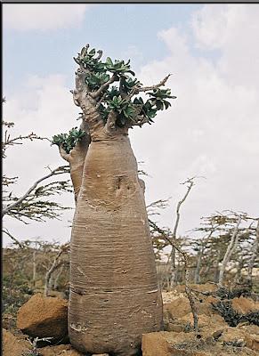 (Yemen) - Socotra Island