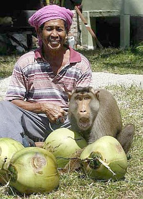 Watch Pak Ali Sulong, 67, and monkey, Salleh, at work plucking coconuts.