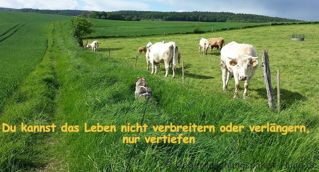 Hundebild mit Kühen und Spruch