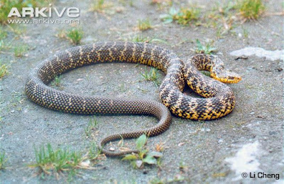 Taiwan stink Snake