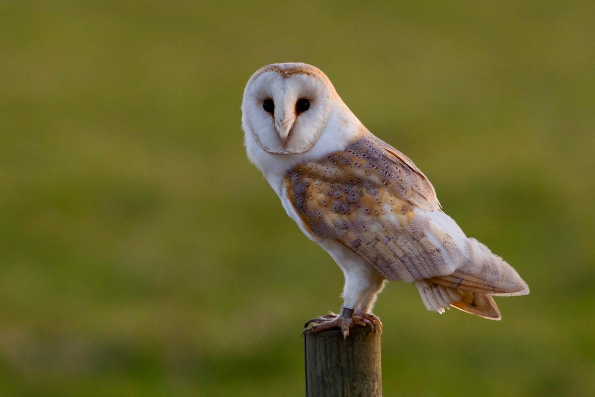 Weedon S World Of Nature Barn Owl Baston Fen
