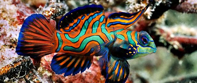 MandarinFish Ikan Paling Eksotis dan Berwarna yang Pernah Ada-14