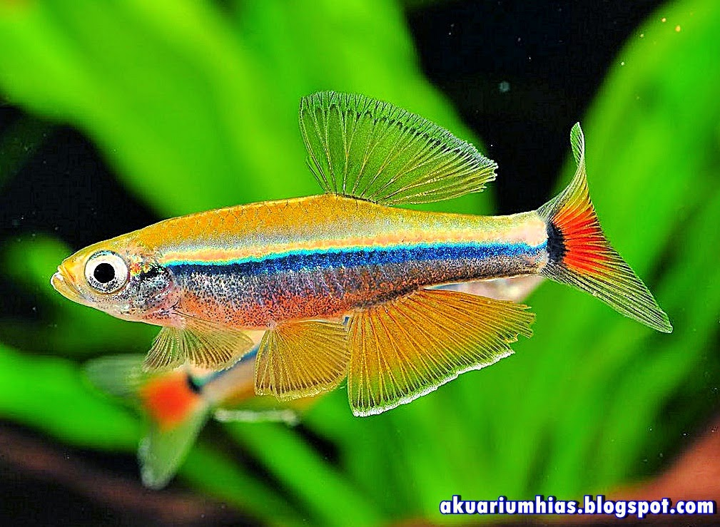 Ikan Golden White Cloud Danio