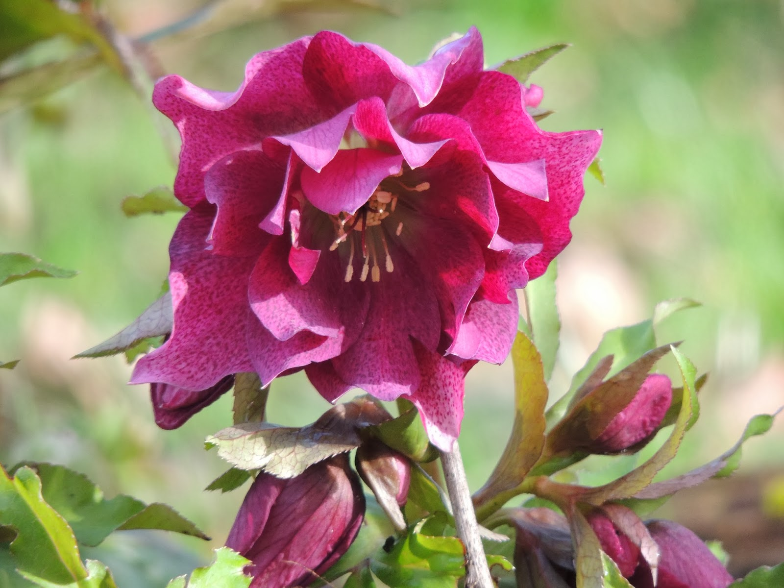 hellebore, rose de noël