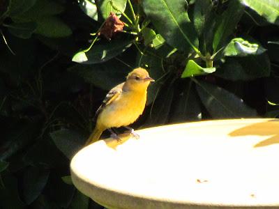 another bird on bath