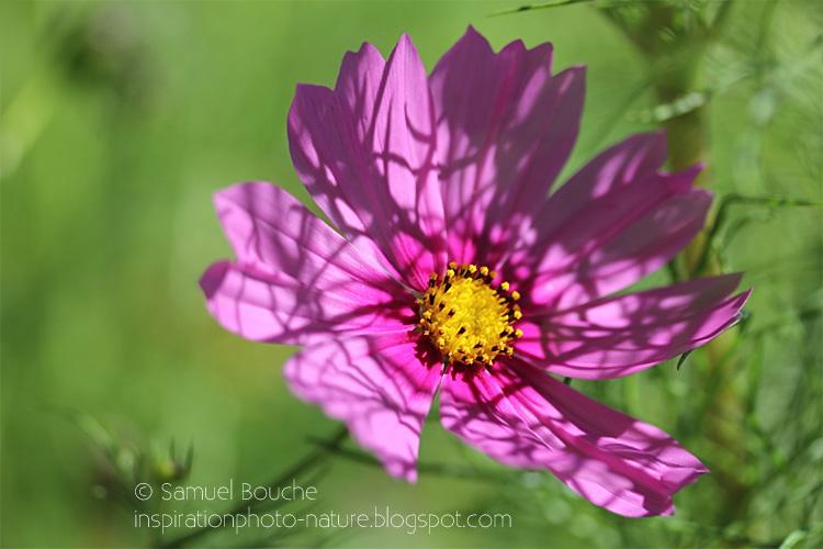 macro fleur au jardin cosmos