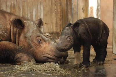 Filhote de Rinoceronte da Sumatra - Dicerorhinus_sumatrensis em cativeiro