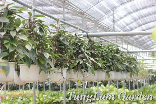 bán hoa treo, cây treo, cây rủ, cây nội thất, cẩm cù