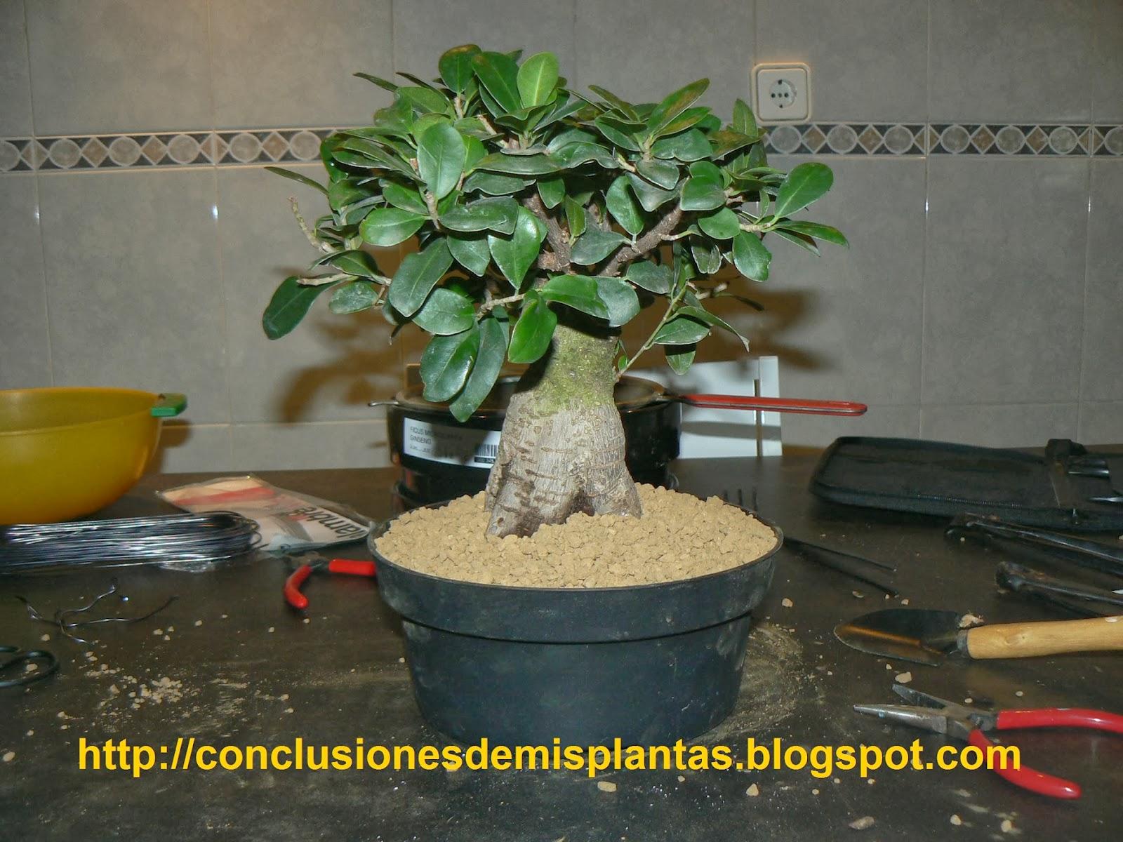 Conclusiones De Mis Plantas Trasplantando Un Ficus Microcarpa Ginseng