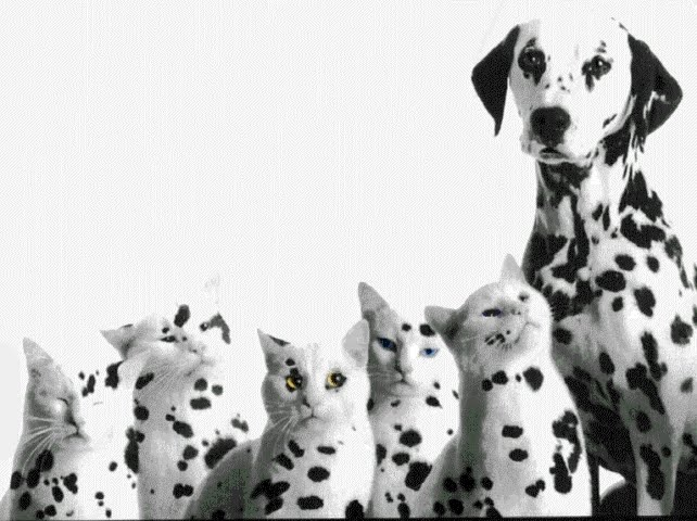 Dalmatian Puppy Puppies Breeds Dog Hound Canine Pooch Canis Bow Wow Despicable Fellow Qen Txakurra
