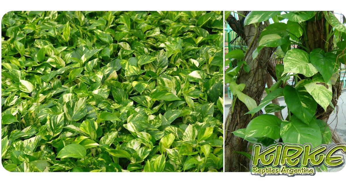Kirke reptiles plantas de terrario humedo - Plantas para terrarios ...