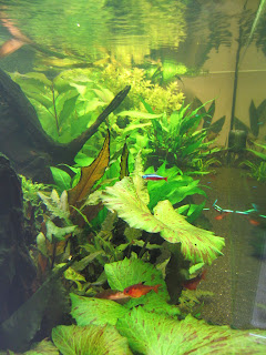 Néons Cardinalis dans mon aquarium