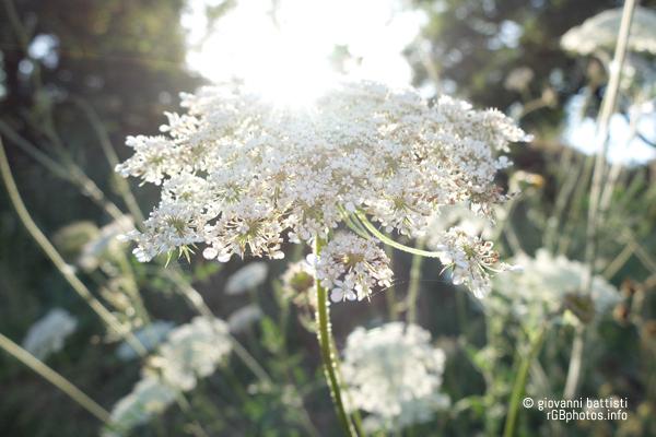 Fiore di campo controluce
