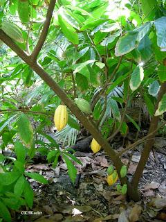 Theobroma cacao tree, cacao