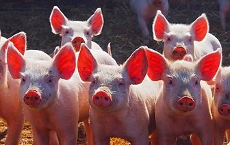 "Countryfile Photographic Competition 2014--""Piglets on Parade"""