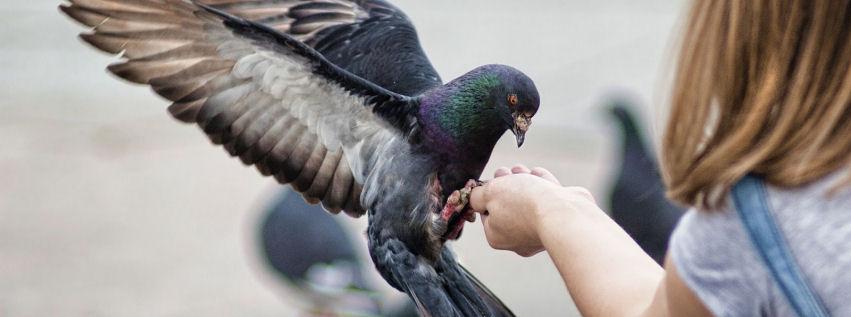 Güvercin facebook timeline kapak fotoğrafı