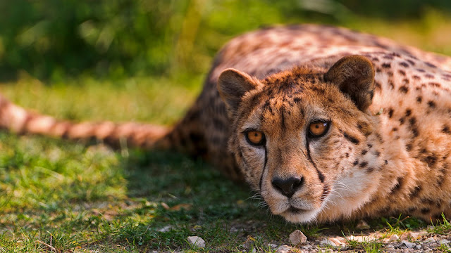 Cheetah Lying HD Wallpaper