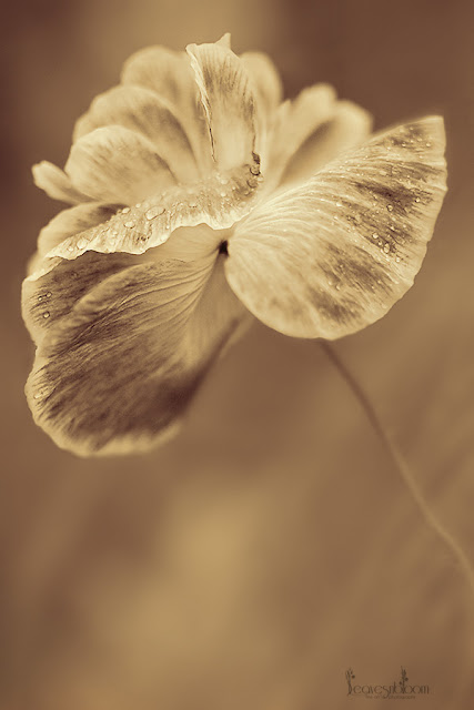 "poppy flower | Papaver rhoeas ""Shirley'"