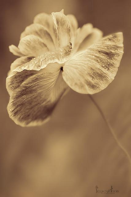"poppy flower | Papaver rhoeas ""Shirley'"