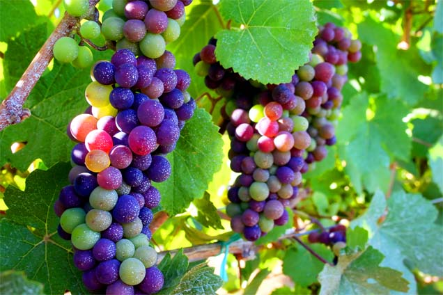 Veraison  -- the ripening continues