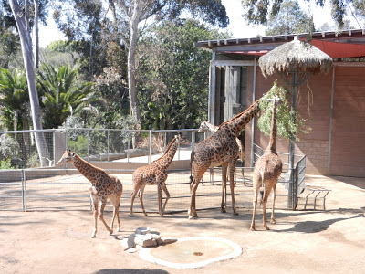 San Diego zoo baby giraffe pictures