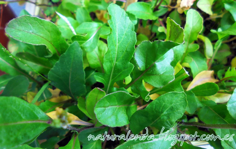 hojas de rucula