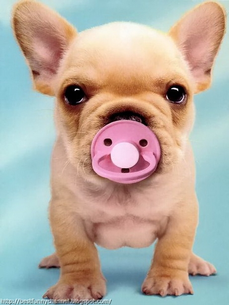 Funny puppy with a pacifier.