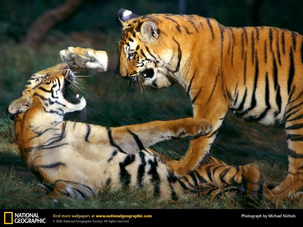 http://1.bp.blogspot.com/-w26CDMQlnkU/TaRlqIv3qGI/AAAAAAAAArY/cyv6k3koiVY/s1600/3.tiger.jpg