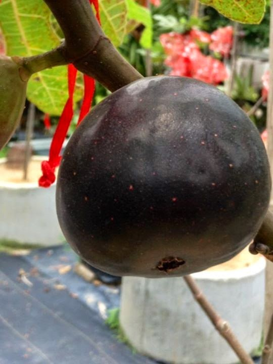 Figs : MANRESA