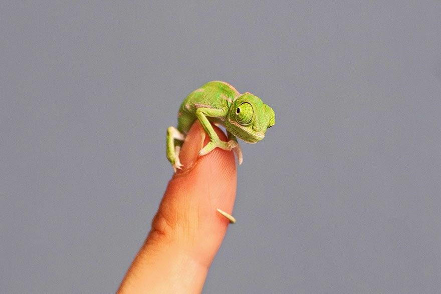 newly born baby chameleons Sydney Taronga Zoo-6