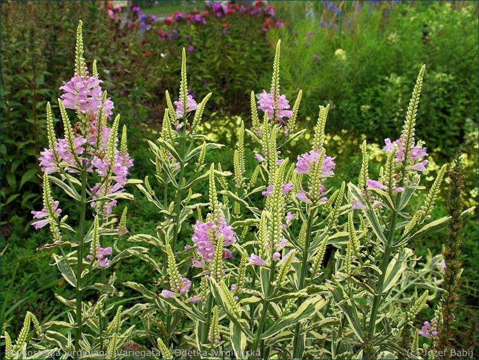 Physostegia virginiana 'Variegata' - Odętka wirginijska kwiatostany