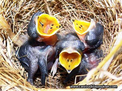 Cara Memelihara Burung Cendet Sejak dari Bayi