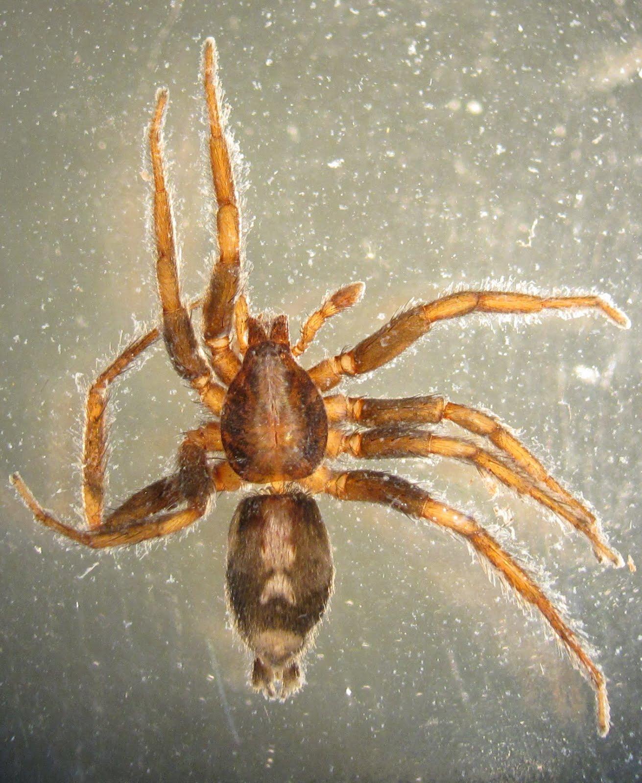 Bug Eric Spider Sunday Eastern Parson Spider