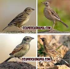 Burung Branjangan:Cara Mudah Membedakan Burung Branjangan Jantan Dan Branjangan Jantan Betina