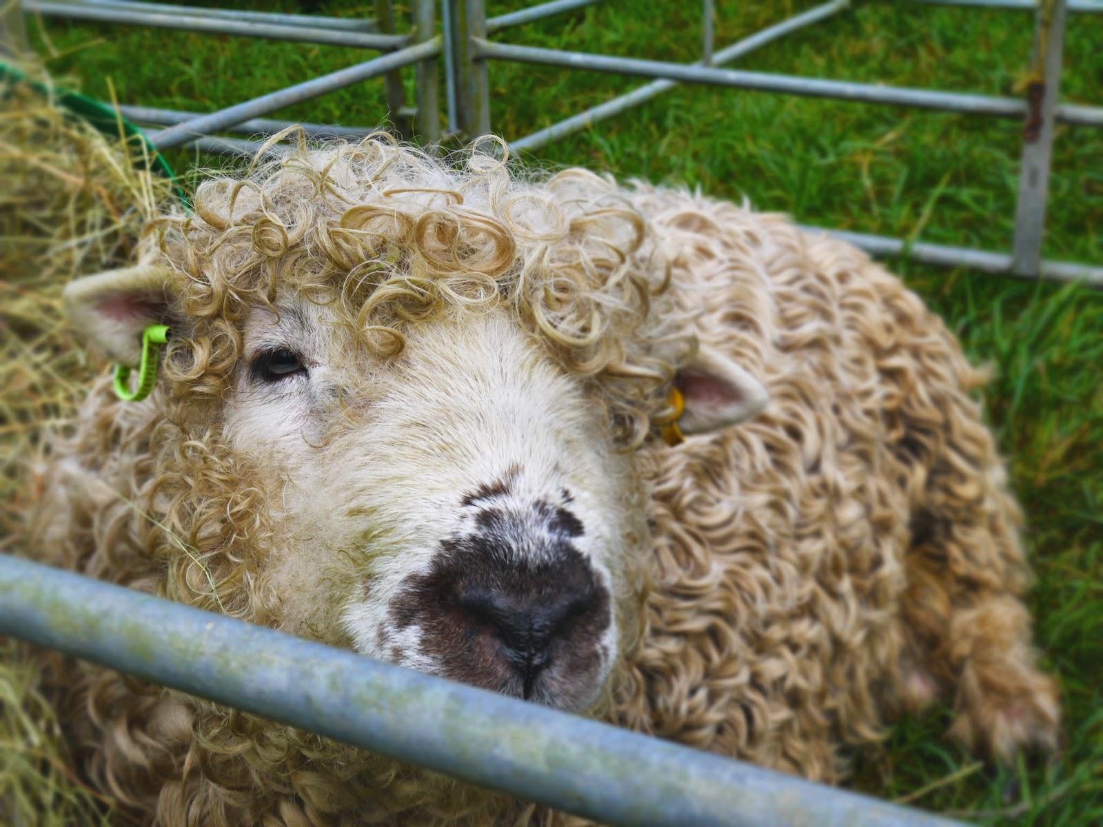 Sheep at Mid Somerset House