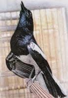 Foto Burung Kacer Jawa Terbaik