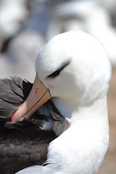 Albatross on Steeple Jason