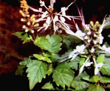 bunga kumis kucing