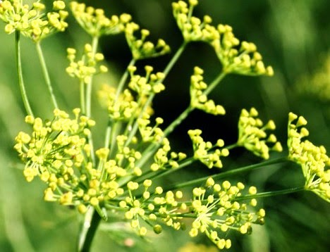 Fennel plant flowers