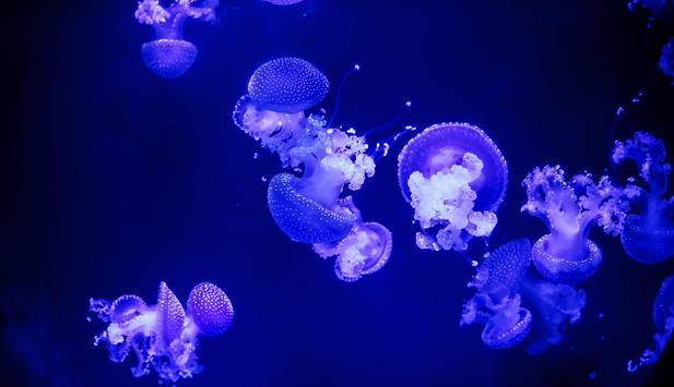 New phenomenon jellyfish in the oceans