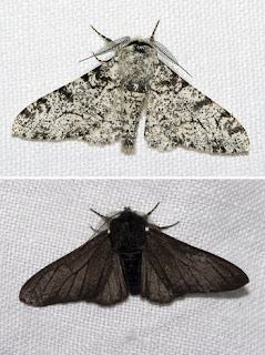 Kupu Biston betularia warna putih dan hitam