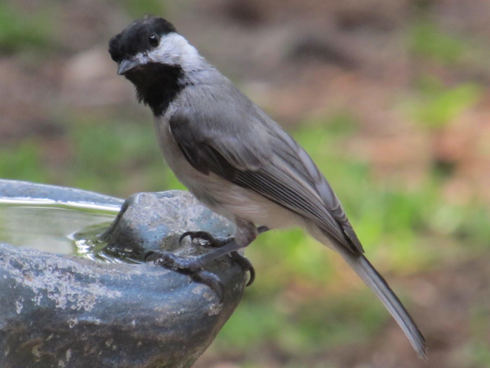 birdseyeviews backyard birds