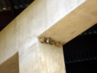 Swallow Nests under bridge