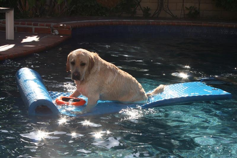 Labrador pool float