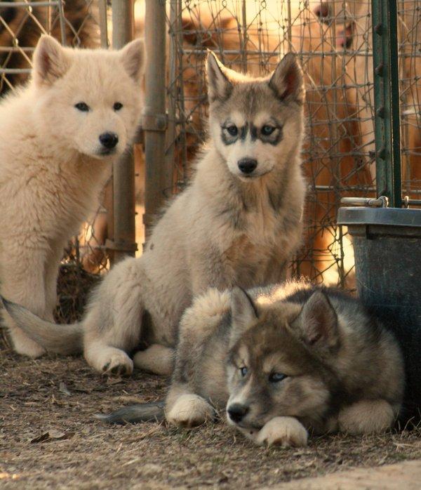 Wolf Dog Puppy Buddies by greensh