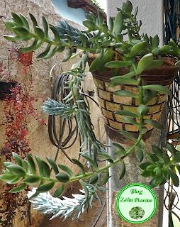 Planta suculenta sedum em flor