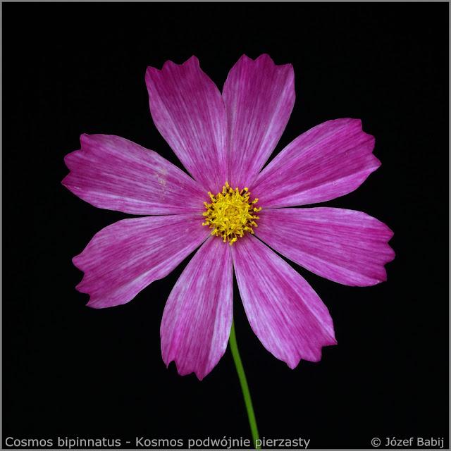 Cosmos bipinnatus - Kosmos podwójnie pierzasty