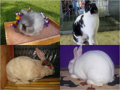 macam-macam ras kelinci